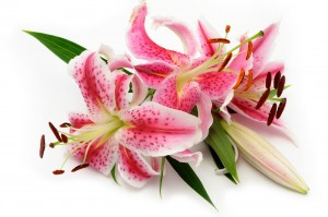 lilies by flower shops  get express lilies flowers, Beautiful flower